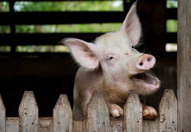 Liberia Piggy