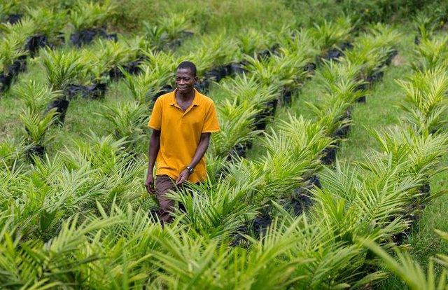 Liberia Oil Palms