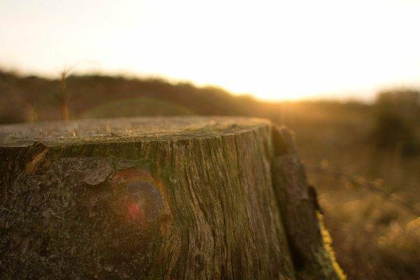 Oak stump