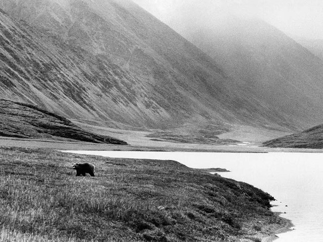 Grizzly in ANWR