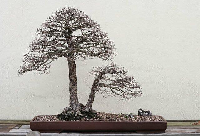 Twin root tree