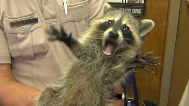 Screaming Raccoon