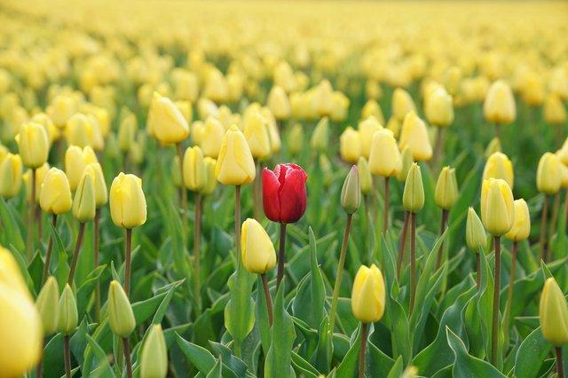 Rose in Tulips