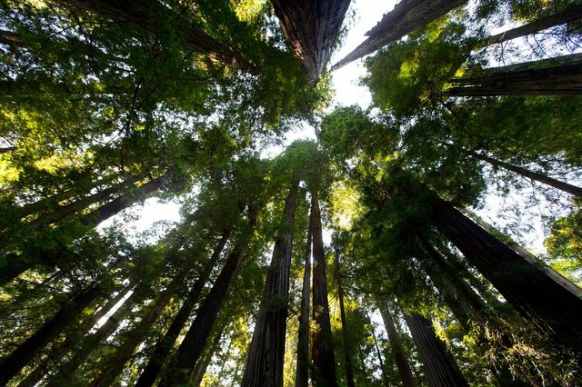 Wespath Redwoods