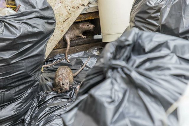 Rats and garbage
